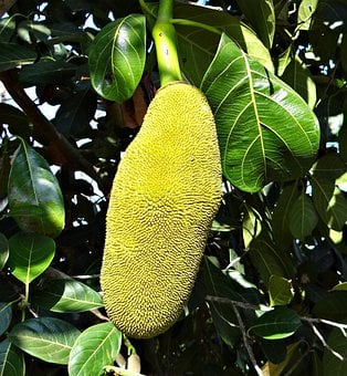 Jackfruits, Trees, Tropical, Fruits, Yellow, Edible