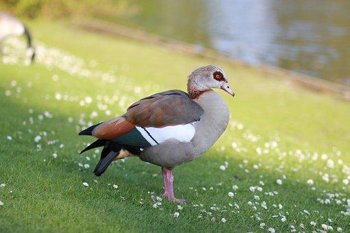 Egyptian Goose, Goose, Geese, Bird, Nature, Wild, Park