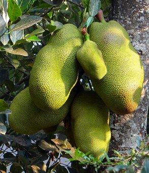 Jackfruits, Trees, Foods, Yellow, Green, Fruits, Bunch