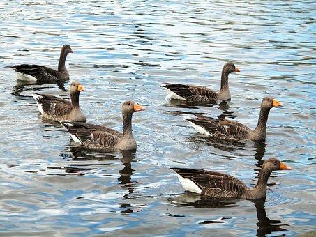 Greylag Goose, Iceland, Icelandic Geese, Lake