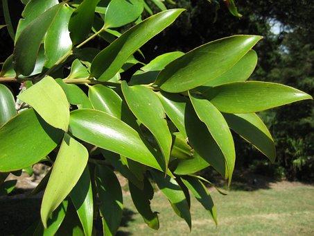 Beautiful Foliage Branch, Kauri Tree Queensland