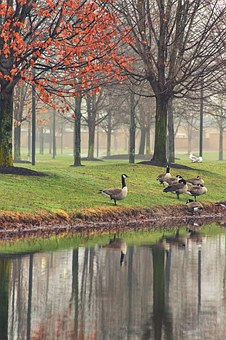 Reflection, By The Water, Geese, Water, Lake, Nature