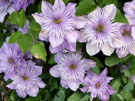Lilac Clematis, Wall Hanging Flowers, Climbing Plants