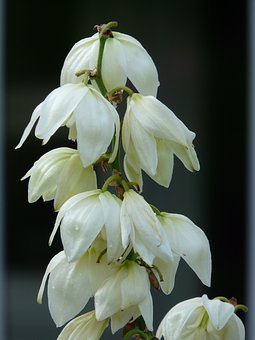 Yucca, Yucca Filamentosa, Agavaceae, Lily Family