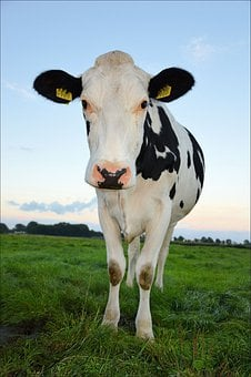 Cows, Animals, Mammals, Black, White, Patterns