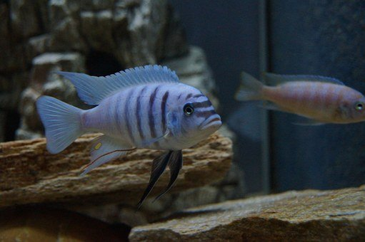 Metriaclima Zebra, Malawi Bass, Aquarium