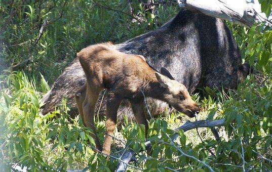 Moose, Baby, Wyoming, Nature, Grand Teton National Park