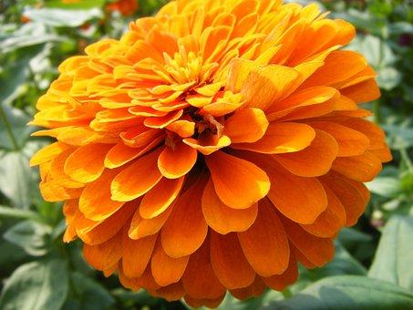 Marigolds, Flowers, Orange, Golden, Yellow, Petals