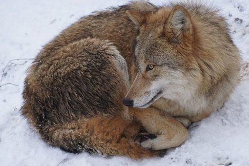 Wolf, Mongolian, Mongolian Wolf, Predator, Winter, Snow