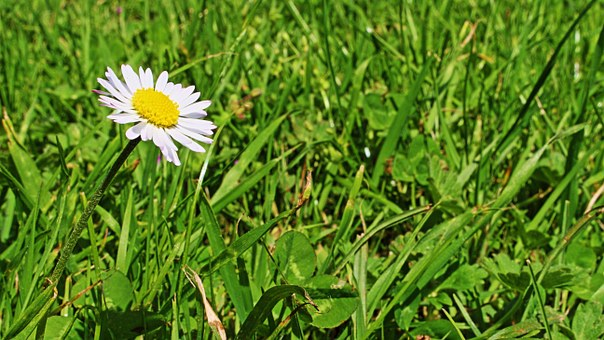 Daisy, Geese Flower, Spring, Blossom, Bloom, Meadow
