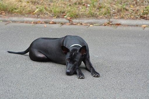 Thai Ridgeback, Ridgeback, Thai Ridgeback Dog