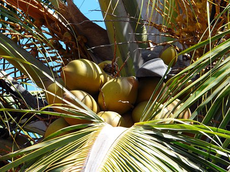 Coconuts, Palms, Trees, Tropical, Fruits, Exotic