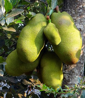 Jackfruits, Trees, Foods, Yellow, Green, Fruits, Bunch