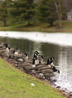 Goose, Geese, Bird, Nature, Wildlife, Animal, Wild