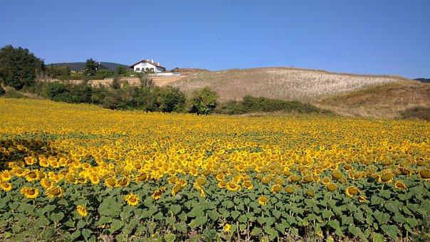 Sunflower, Sunflower Field, Navarre, Yellow, Floral