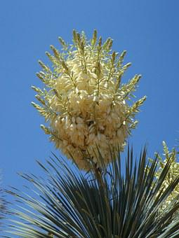 Yucca, Yucca Palm, Blossom, Bloom, Flora, Flower, Plant