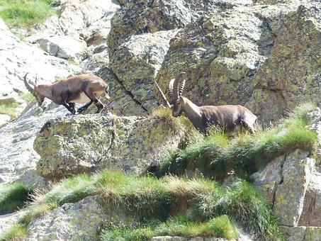 Capricorn, Alpine Ibex, Capra Ibex, Wicked Capricorn