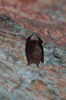 Bat, Sleep, Animal