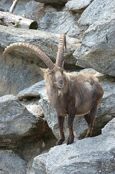 Capricorn, Ibex, Alpine, Animal, Mountains, Summer