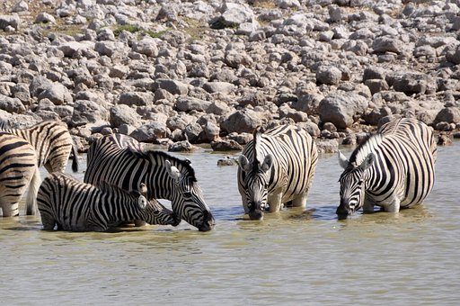 Zebras, Drink, Foal, Watering Hole, Animal, Africa