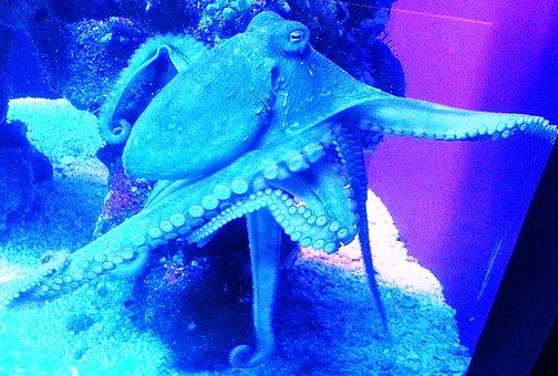 Octopus, Kraken, Sea Life, Animal, Ocean, Underwater
