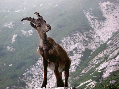 Capricorn, Animal, Alpine, Mountains, Nature, Wild