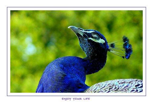 Bird, Birds, Animal, Animals, Feather, Peacock, Color