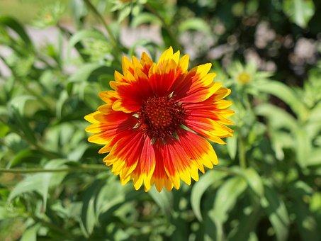 Blanket, Flower, Plant, Cockade, Gaillardia