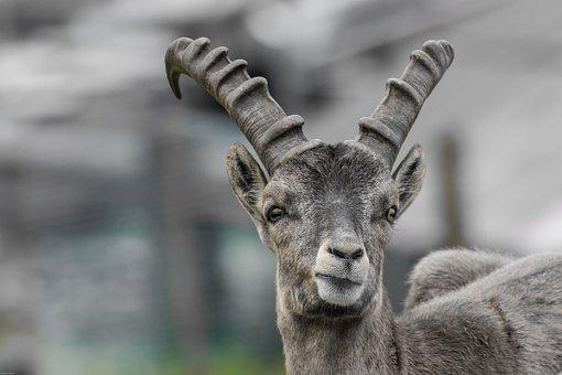 Capricorn, Young Animal, Horns, Alpine, Alpine Ibex