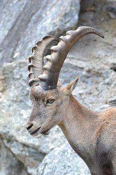 Capricorn, Ibex, Alpine, Animal, Mountains, Summer