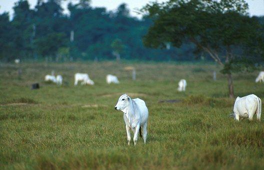 Cattle, Beef, Nelore, Calves, Cows, Animals, Fauna