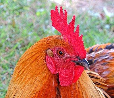 Rooster, Bird, Domestic Birds, Colors, Pippi, Orange