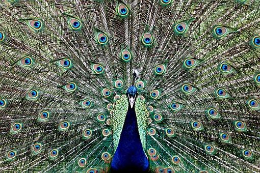 Peacock, Feather, Eye, Animal, Spring Crown