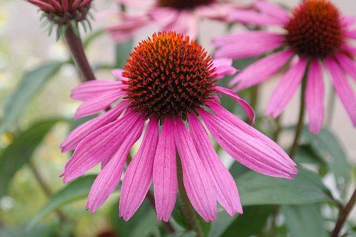 Coneflower, Flower, Blossom, Bloom, Flower Basket