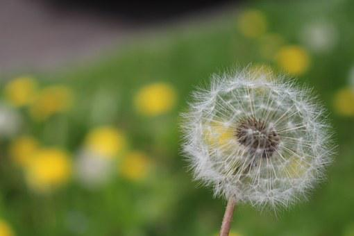 Dandelion, Flower, Seeds, Plant, Nature, Spring, Close