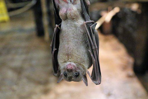 Fruit Bat, Bat, Fruit, Flying, Wildlife, Animal, Mammal