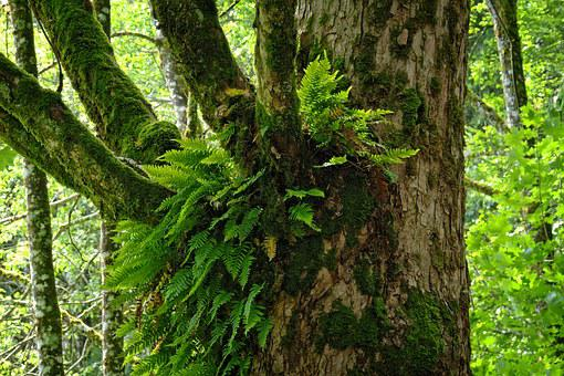 Ivy, Forest, Tree, Growth, Symbiosis, Nature, Old Tree