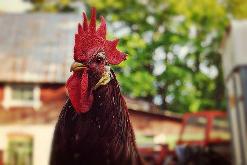Rooster, Animals, Hen, Springs, Proud
