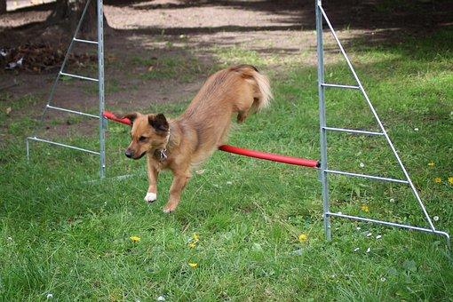 Small Dog, Dog, Hurdle, Hurdle Jump, Hundesport, Pet