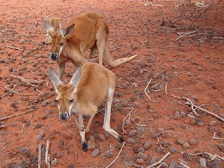 Kangaroo, Red, Large, Australia