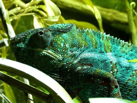Chameleon, Reptile, Lizard, Animal, Wildlife, Tropical