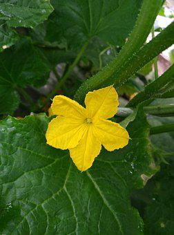 Luffa Cylindrica, Farmhouse, Flowering
