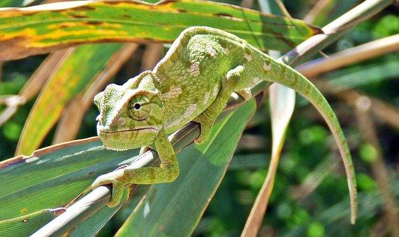 Chameleon, Mediterranean Chameleon, Lizard, Reptile