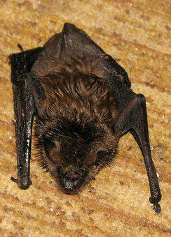 Little Brown Bat, Little Brown Myotis, Myotis Lucifugus
