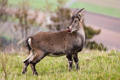 Capricorn, Nature, Ibex, Alpine, Wild Animal, Mountains