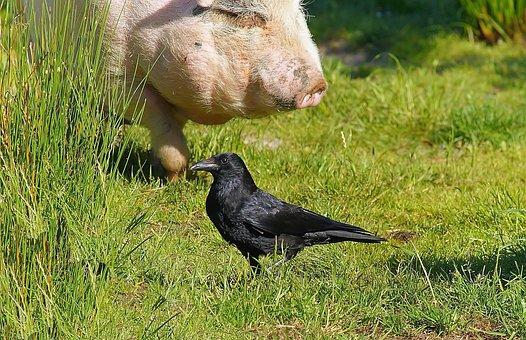 Meadow, Pig, Food, Raven, Animal World, Happy, Cute