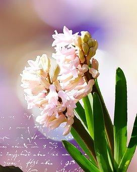 Hyacinth, Flower, Blossom, Bloom, Plant, Handwriting