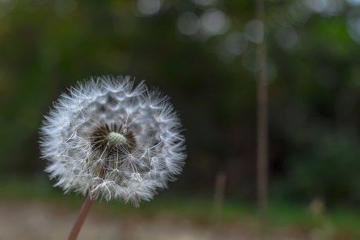 Dandelion, Nature, Flower, Plant, Meadow, Seeds, Spring