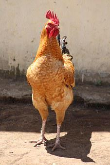 Chicken, Farm, Domestic Animal, Poultry, Hen, Rural