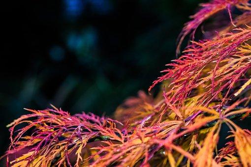Maple, Red, Fall Foliage, Leaf, Autumn, Tree, Nature
